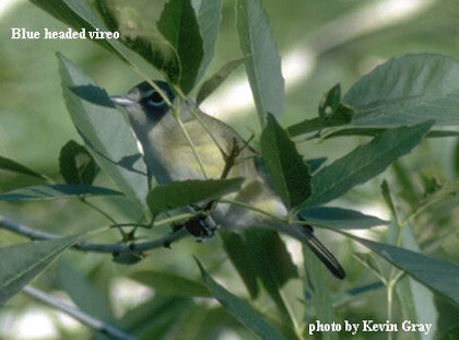 bird picture - Blue headed Vireo