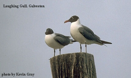 bird picture - Laughing Gull