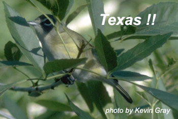 bird picture - Blue-headed Vireo