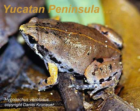 frog picture - Hypopachus variolosus