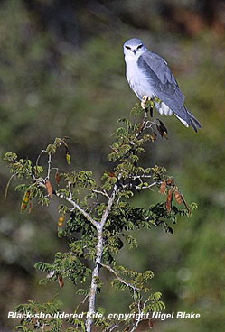 bird photo - Black-shouldered Kite