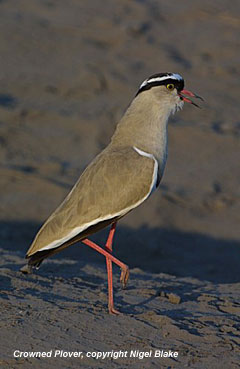 bird photo - Crowned Plover