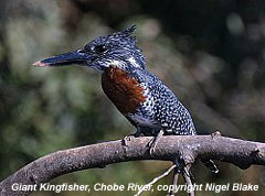 bird photo - Giant Kingfisher