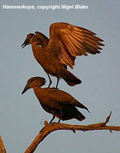 bird photo - Hammerkop