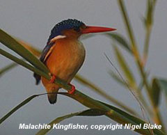 bird photo - Malachite Kingfisher