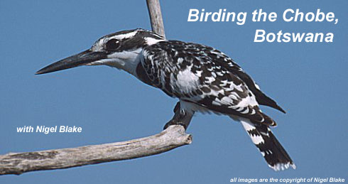 bird photo - Pied Kingfisher