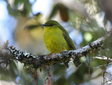 The Canary Flycatcher is reasonably common above and below Yabogima; this individual was photographed by Filip Verbelen.