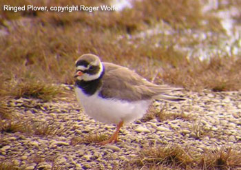 Ringed Plover, Gambell