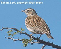 bird photo - Sabota Lark