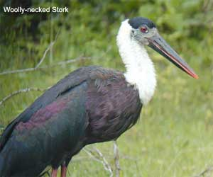 Wolly-necked Stork