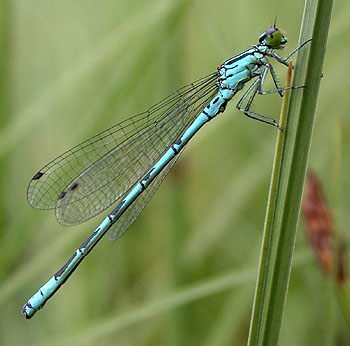 Northern Damselfly