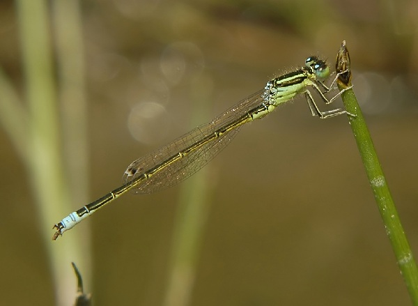 Scarce Blue-tailed Damselfly
