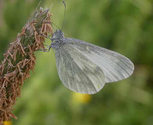 Real's Wood White